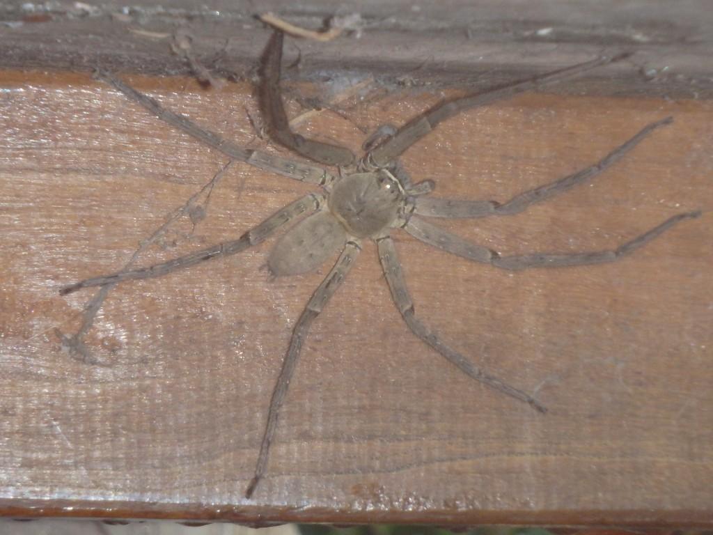 Araignée de jardin sous notre table