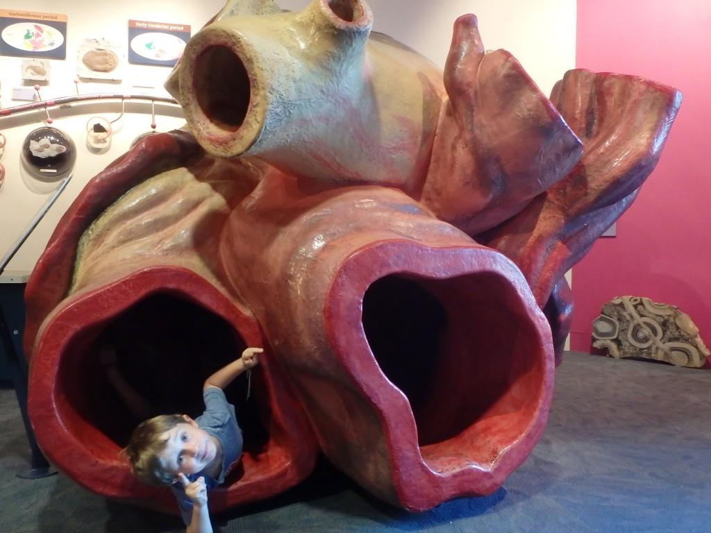 Coeur d'une baleine